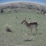 Pronghorn Antelope abound in our area of the desert.