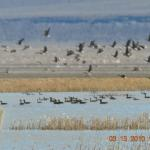 You never know what flock will fly by. The Lodge at Summer Lake sits in the straightaway path of the Pacific Flyway.