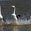"""The Dance""-Clarks Grebes. Photo taken by Dennis E. Kirkland www.hisimages.com"