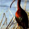 White Faced Ibis.